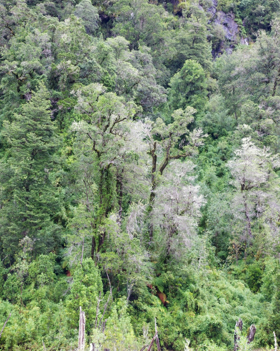 The forest of the Reserva Nacional Llanquihue