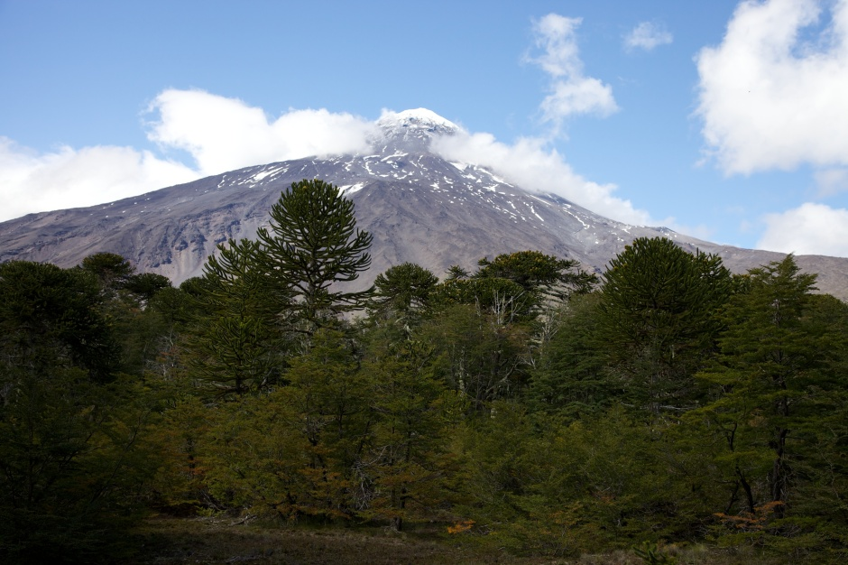 Lanin with Chilean Pines