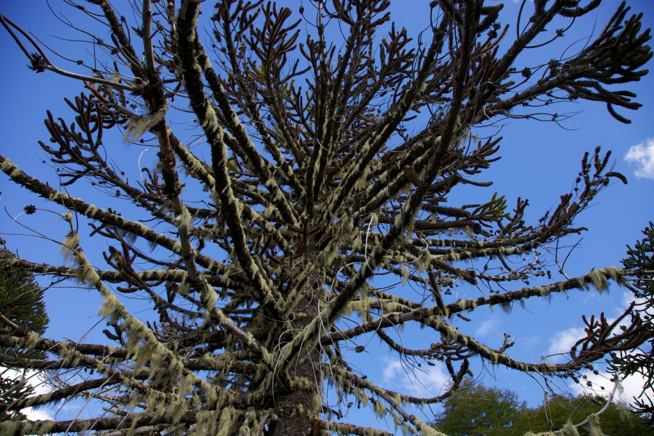 Ancient Chilean Pine with lichen