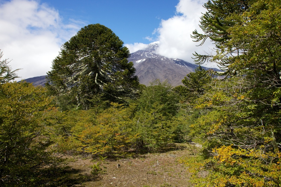 Large Chilean Pine with Lanin in the background
