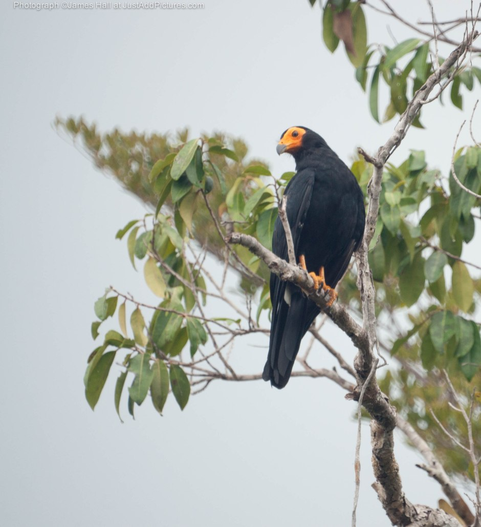 The Black Caracara