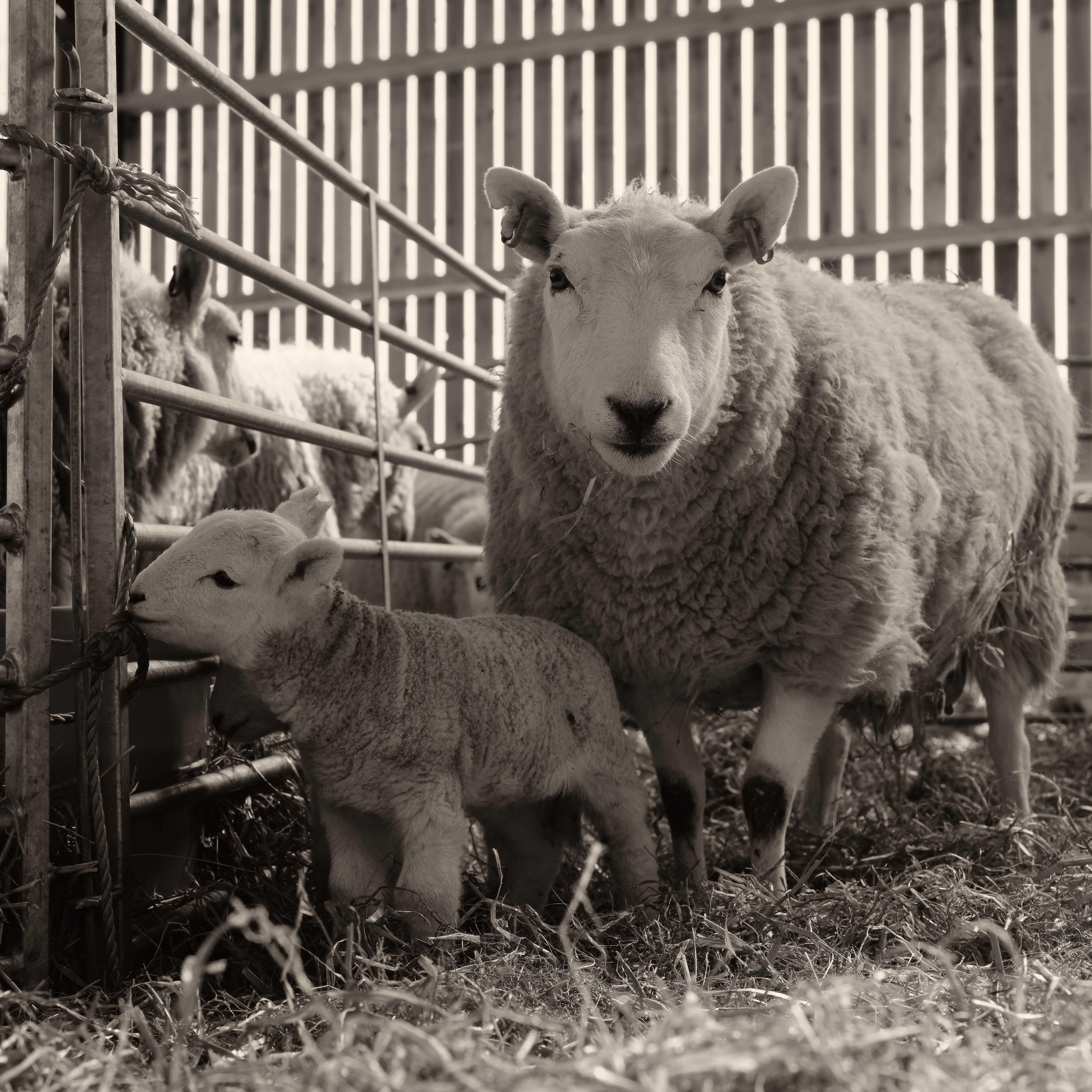 Standing Ewe with Lamb - 2020-04